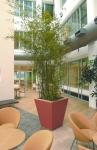 Phyllostachys Nigra bamboo 1
