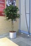 ficus benjamina open braid trunk tree in brushed aluminium planter