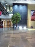 foyer large ficus benjamina ball head tree in brushed aluminium planter