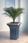 Avantgarde 4 Phoenix Palm