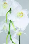 giant-phalaenopsis-254-17718-013