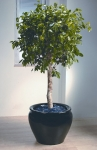 Heritage 9 Ficus Benjamina