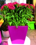 Low Pink Kubik with red flowers