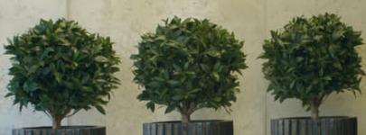 Ball Head Ficus Lyrata