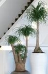 Beaucarnea Palm