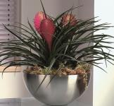 Bromeliad Tillandsia