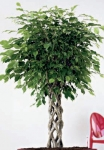 Ficus Ball Head Open Braid Stem