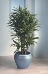 Streamline 2 Philodendron Scandens