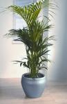 Streamline 6 Howea 'Kentia Palm'