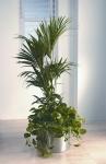 Studio 4 Kentia Palm+Scindapsus