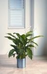 Studio 10 Spathiphyllum