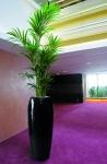 Black Yang with kentia palm in-situ