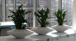 Spathiphyllum specimen in UFO planter